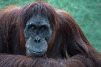 Interesujące ciekawostki dla dzieci o Orangutanach