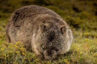 Interesujące ciekawostki o Wombatach
